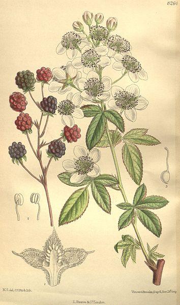 [Bild: 354px-Rubus_canadensis_135-8264.jpg]
