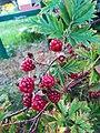 Rubus in Poznan Lawica.jpg
