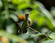 Ruby-throated hummingbird in Central Park (54249).jpg