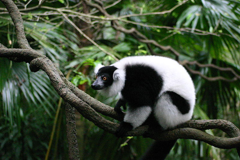 Fichier:Ruffed Lemur Singapore.JPG