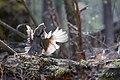 Ruffed grouse (15116108746).jpg