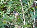 Rufous-gorgeted Flycatcher - Ficedula strophiata - P1020921.jpg