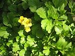 Ruhland, Grenzstr. 3, Golderdbeere im Garten, blühende Pflanzen, Frühling, 04.jpg