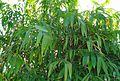 Rumpun pohon bambu (5).JPG
