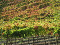 Russian River Valley Vineyard in autumn.jpg
