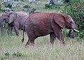 Rusty the female African elephant (42800538242).jpg