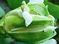 Sépales de Passiflora edulis.jpg