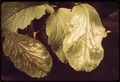 SMOG-DAMAGED PLANT AT THE STATEWIDE AIR POLLUTION RESEARCH CENTER, UNIVERSITY OF CALIFORNIA. PLANT - NARA - 542686.tif