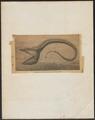 Saccopharynx pelecanoides - 1881-1894 - Print - Iconographia Zoologica - Special Collections University of Amsterdam - UBA01 IZ15300001.tif