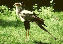 Птица умеющая летать?казуар,киви или птица-секретарь.
