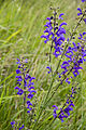Salvia pratensis vallee-de-grace-amiens 80 21062007 5.jpg
