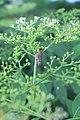 Sambucus chinensis in Wuyishan Chengcun 2012.08.24 08-30-08.jpg