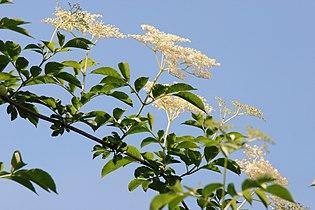 Sambucus nigra 2004 b.jpg