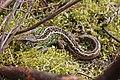 Sand Lizard (Lacerta agilis) (8692093421).jpg