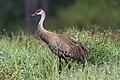 Sandhill crane harns marsh (33380097930).jpg