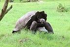 Santa Cruz giant tortoises 02.jpg