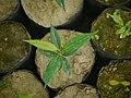 Sapling Aquilaria agallocha P1140176 02.jpg