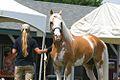 Sato - Palomino, Sabino, THoroughbred Stallion (5970379504).jpg