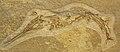 Saurichthys curionii 1.JPG