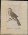 Saurothera vetula - 1772-1829 - Print - Iconographia Zoologica - Special Collections University of Amsterdam - UBA01 IZ18800183.tif