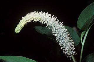 Saururaceae family of plants