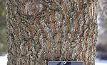 Sawtooth Oak Quercus acutissima Trunk Bark 2008px.jpg