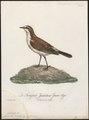 Saxicola pileata - 1796-1808 - Print - Iconographia Zoologica - Special Collections University of Amsterdam - UBA01 IZ16200308.tif