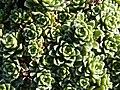 Saxifraga marginata (Saxifragaceae) detail.JPG