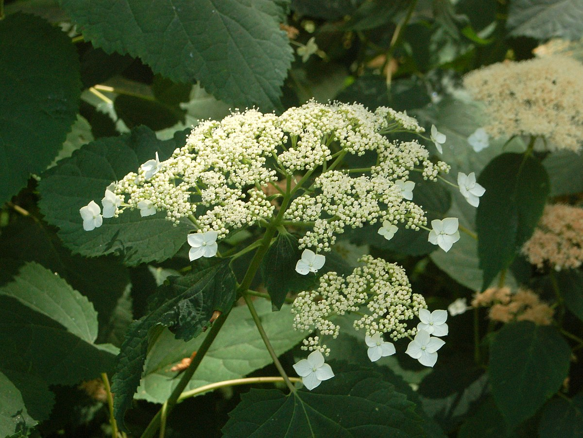 Image Result For Hydrangea Colors