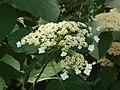 Saxifragaceae - Hydrangea arborescens subs. radiata-001.JPG