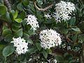 Saxifragales - Crassula ovata 6.jpg