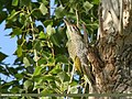 Scaly-bellied Woodpecker (Picus squamatus) (43575685160).jpg