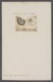 Scaphites aequalis - - Print - Iconographia Zoologica - Special Collections University of Amsterdam - UBAINV0274 091 02 0002.tif