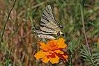 Scarce swallowtail (Iphiclides podalirius) underside Macedonia.jpg