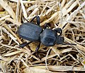 Scaurus punctatus. Darkling Beetle. Tenebrionidae (39806408972).jpg