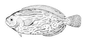 Medusafish - Cornish blackfish, Schedophilus medusophagus