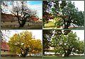 Schildau Maulbeerbaum Collage.jpg