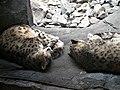 Schneeleoparden (Zoo Leipzig).jpg