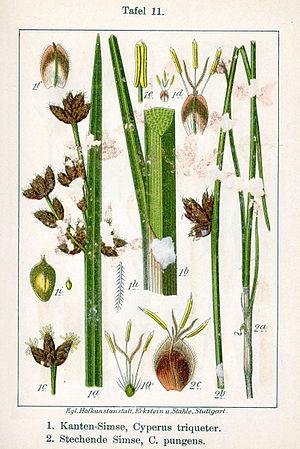 Schoenoplectus pungens - Image: Schoenoplectus spp Sturm 11