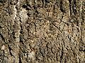 Schotia brachypetala, bas, Voortrekkerbad.jpg
