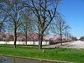 Schwetzinger Schlossgarten Kirschblüte.jpg