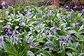 Scilla lilio-hyacinthus. Belime.jpg