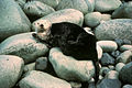 Sea otter marine mammal enhydra lutris.jpg