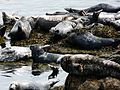 Seal Colony, Bardsey Island. - Flickr - gailhampshire.jpg