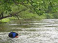 Searching for mussels in the Tuckasegee River (5754226127).jpg