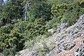 Sedum paradisum Shirtale Peak 014 (8345873735).jpg