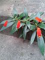 Seemannia sylvatica.jpg