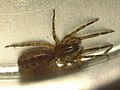 Segestria senoculata (36504256332).jpg