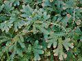 Selaginella uncinata OB10.jpg