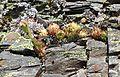 Sempervivum caucasicum1.jpg